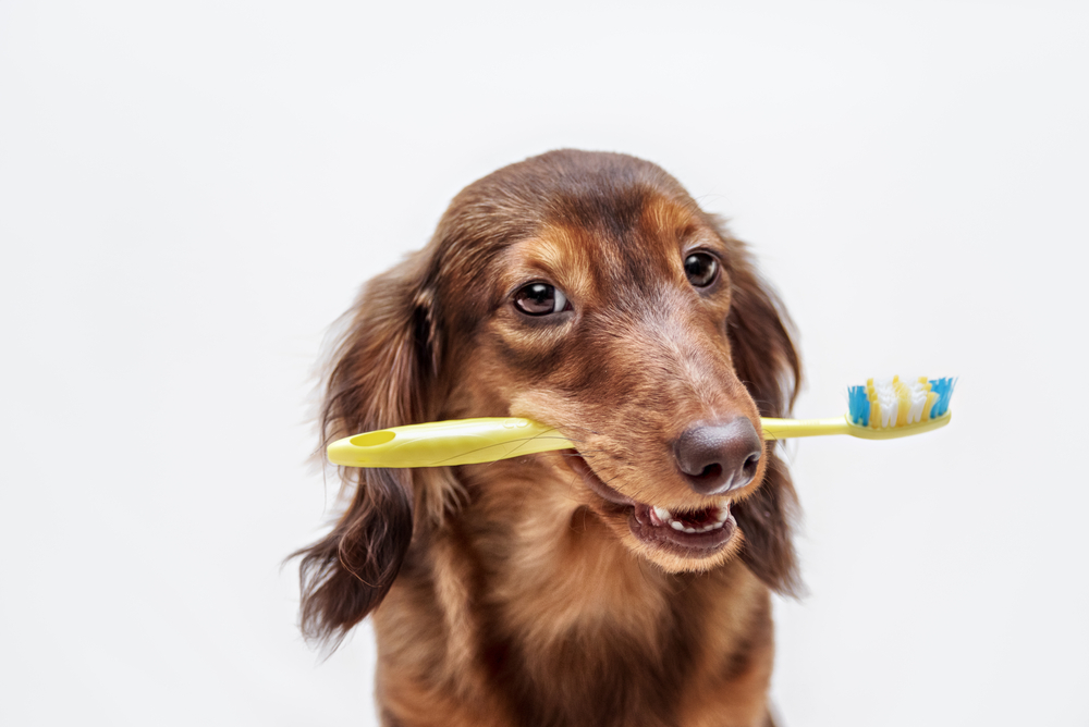 What many people don't realize is that dental hygiene for our pets is just as important as it for us. Call our Boca Raton veterinarian to learn more!